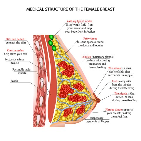 Taking a Closer Look at the Anatomy and Physiology of the Female Breast